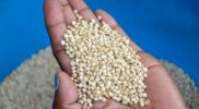 Good supply for grain eases prices in EAC