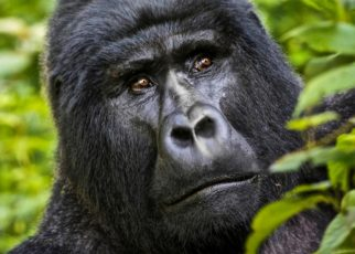 Rwanda to name Twenty three infant mountain gorillas