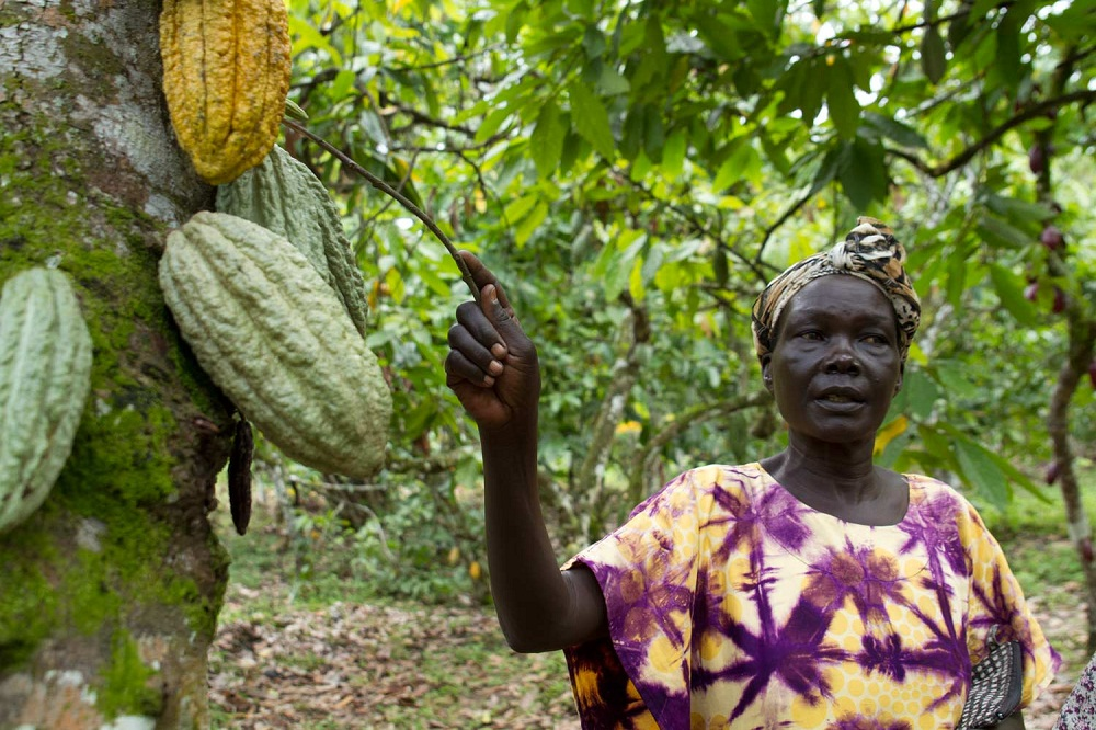 Cocoa farmers in Uganda are up in arms after they noticed an increase in fake Cocoa seedlings on the market which they say are being supplied by the Government-backed programme of Operation Wealth Creation.
